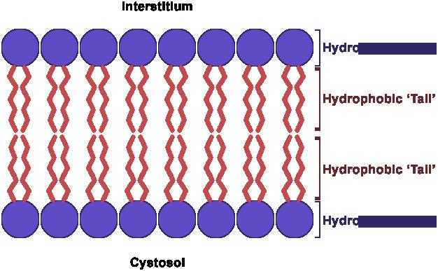 File:Cellmembrane bilayer 2.png