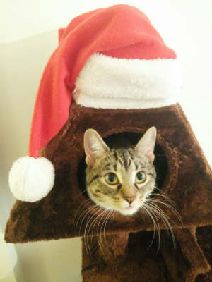 File:Christmas cat article.jpg