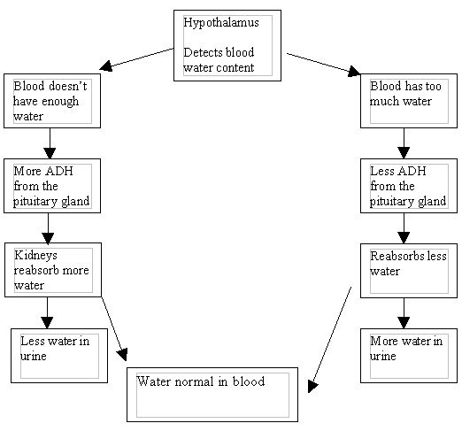 Image:Kidney flow diagram.jpg