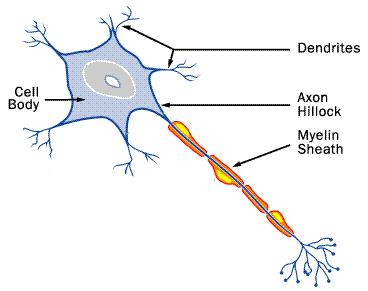 File:Nerve cell.JPG