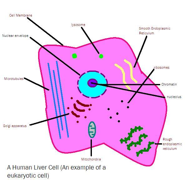 File:Animal Cell.JPG