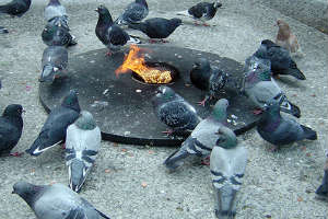 File:Pigeonbattle.jpg