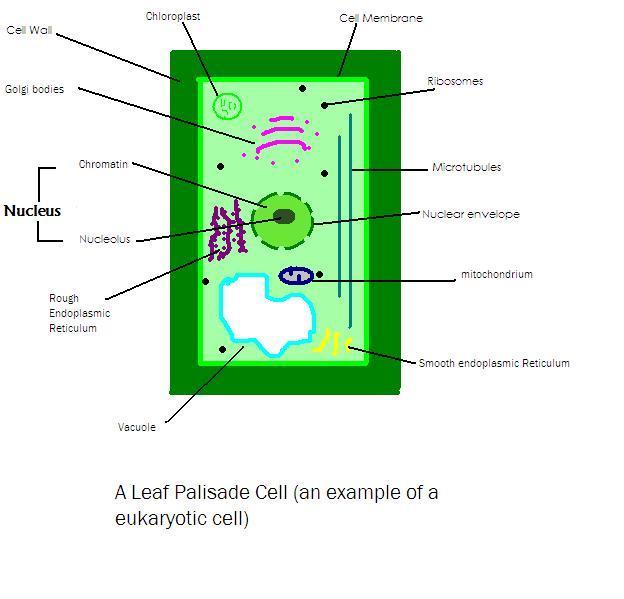 File:Plant cell.JPG