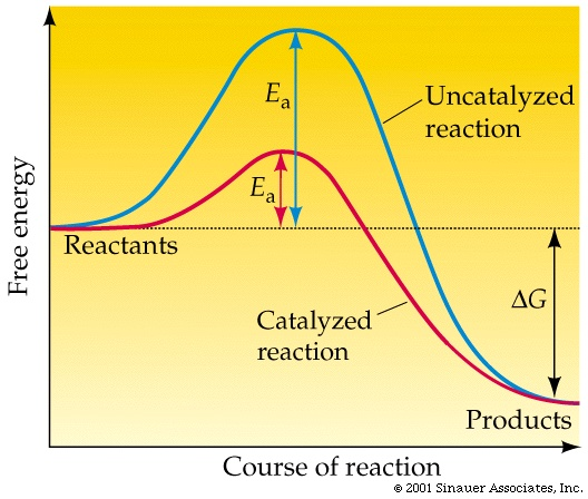 File:Enzyme catalysed reaction.jpg
