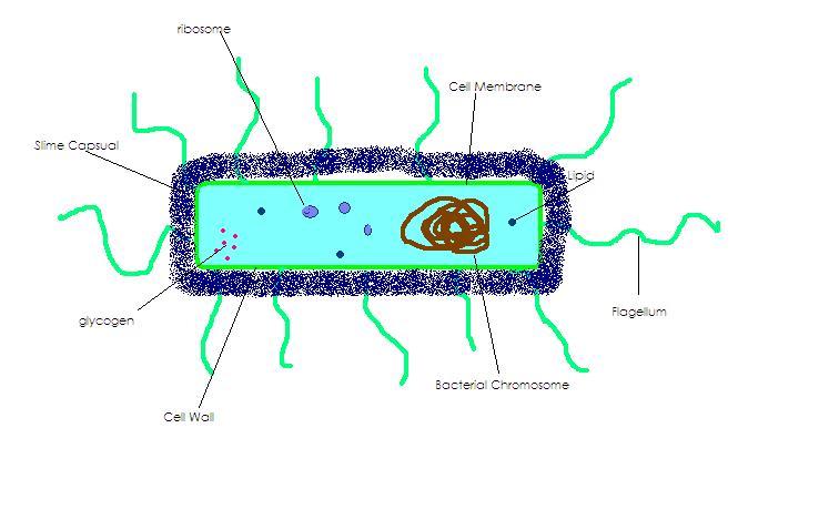 File:Prokaryote.JPG