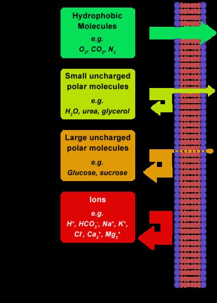 File:Cellmembrane permeability.png